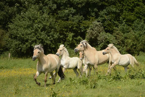 nature wildlife/anton luhr photography/fjord horses bergisch gladbach refrath north