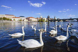 Flock of swans in Vltava River with Charles Bridge at the background, Prague, Czech