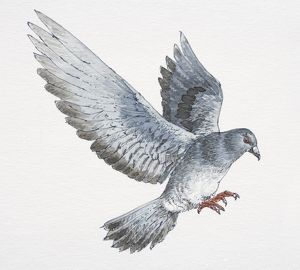 Flying pigeon with message attached to its foot landing, side view.