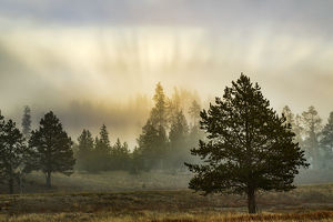 Foggy meadow with trees at dawn, Midway Geyser Basin, Yellowstone National Park, Wyoming