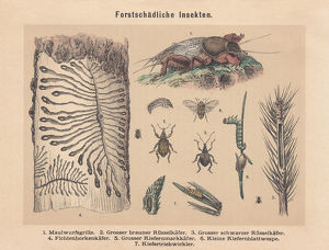 Forest pests, hand-colored lithograph, published in 1887