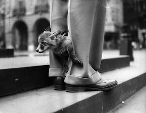 Foxy Trousers; Ten week-old Fox Cub 'Twentieth Century Fox'