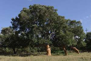 nature wildlife/anton luhr photography/freshly peeled cork oaks quercus suber aglientu