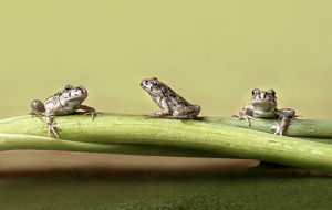Three frogs on a branch