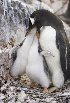Gentoo penguin feeding chicks, Antarctic Pen
