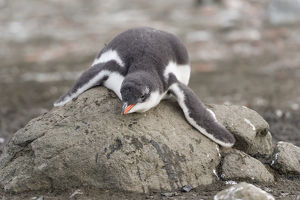 Gentoo Penguin -Pygoscelis papua- chick in downy feathers, asleep, cooling off, Barrientos Island