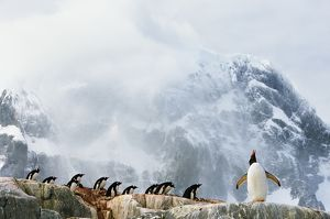 Gentoo penguin (Pygoscelis papua) colony, summer
