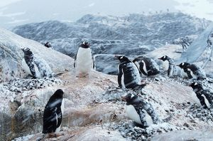 Gentoo penguins on nests, protecting chicks during snowstorm