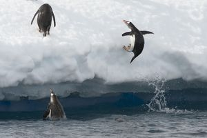 Gentoo Penguins -Pygoscelis papua- jumping out of the water onto an ice floe, Antarctic Peninsula