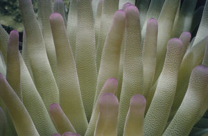 Giant Sea Anemone Tentacles