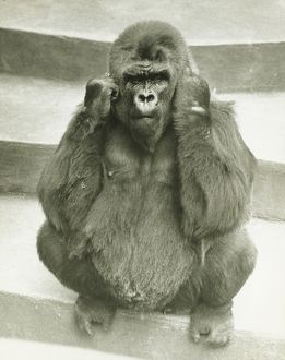 Gorilla sitting on steps, supporting head with hands, (B&W)