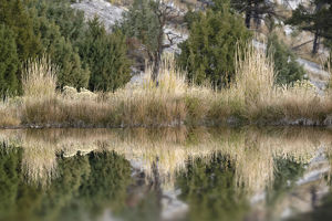 Grass reflection, Canary Spring, Yellowstone National Park, Montana, Wyoming, USA