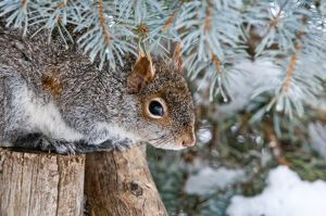 Gray Squirrel Hiding