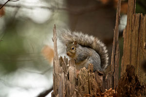 Gray Squirrel On Tree Stump