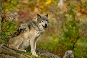Gray Wolf In Autumn
