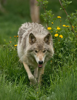 Gray wolf in Summer