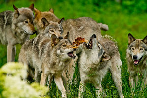 Gray wolves at play