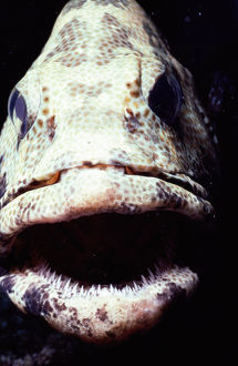Greasy grouper (Epinephelus tauvina), close-up