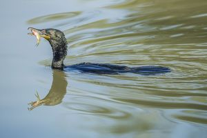 Great Cormorant -Phalacrocorax carbo-, Keoladeo National Park, Rajasthan, India
