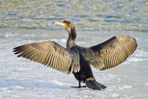 Great Cormorant -Phalacrocorax carbo- standing with outstretched wings on ice, North Hesse