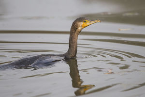 Great Cormorant -Phalacrocorax carbo-, swimming, Germany