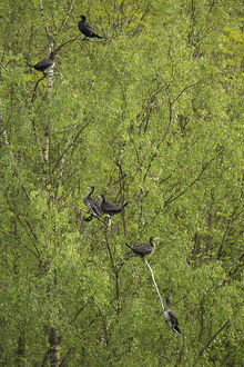 Great Cormorants or Great Black Cormorants -Phalacrocorax carbo- perched on a tree