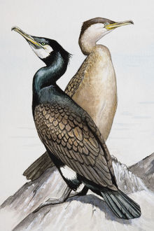 Two Great cormorants (Phalacrocorax carbo), looking in opposite directions, perching