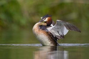 wilfried martin nature photography/great crested grebe podiceps cristatus beating wings