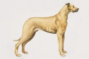 Great Dane (canis familiaris), side view