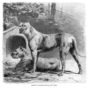 Great dane engraving 1894