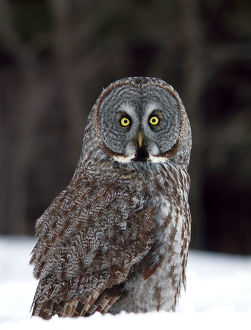 Great Grey Owl Grounded
