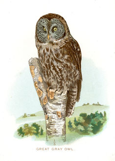 Great grey owl lithograph 1897