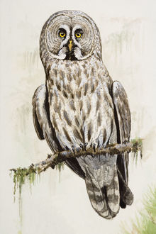 Great grey owl (Strix nebulosa), perching on a branch, front view