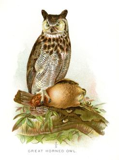 great horned owl lithograph 1897