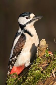 wilfried martin nature photography/great spotted woodpecker dendrocopos major hesse