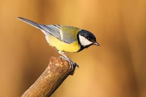 wilfried martin nature photography/great tit parus major branch hesse germany