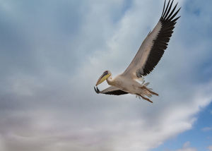 Great White Pelican -Pelecanus onocrotalus- in flight in Walvis Bay, Namibia