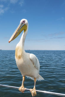 Great White Pelican -Pelecanus onocrotalus- on railing in Walvis Bay, Namibia