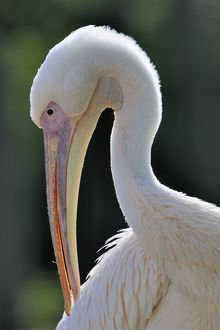 Great White Pelican -Pelecanus onocrotalus-, portrait