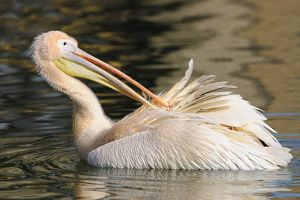 Great White Pelican -Pelecanus onocrotalus-