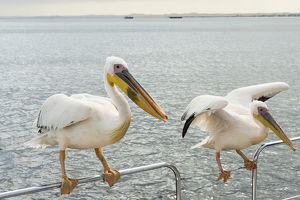 Two Great White Pelicans -Pelecanus onocrotalus- on a railing in Walvis Bay, Namibia