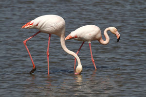 <b>Flamingo Wading Bird</b><br>Selection of 106 items