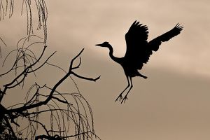 wilfried martin nature photography/grey heron ardea cinerea approach tree dawn