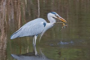 wilfried martin nature photography/grey heron ardea cinerea common toad prey bufo