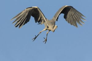 wilfried martin nature photography/grey heron ardea cinerea flight hesse germany
