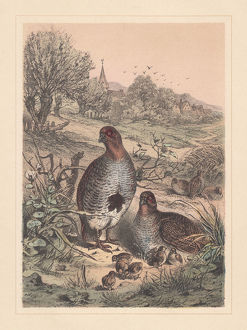 Grey partridge (Perdix perdix), threatened species, hand-colored lithograph, published