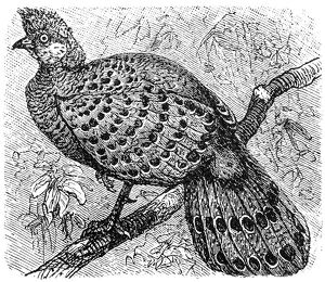 Grey Peacock-Pheasant old illustration (Polyplectron bicalcaratum)