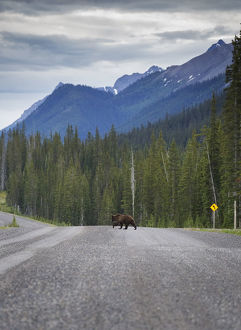 Grizzly Bear Road Crossing