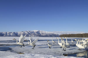 Group of Whooper Swans -Cygnus cygnus-, some taking-off, Kussharo Lake, Kawayu Onsen
