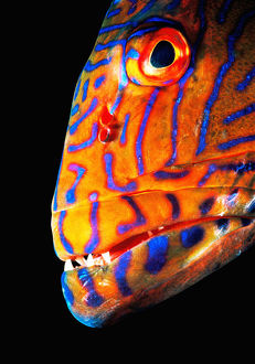 Grouper (Serranidae), head-shot